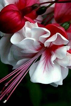 A beautiful fuchsia flowers.