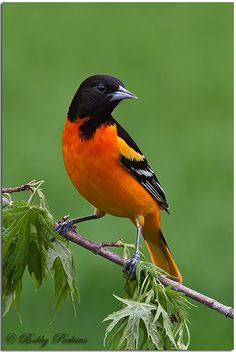 ☀Baltimore Oriole by Bobby Perkins*