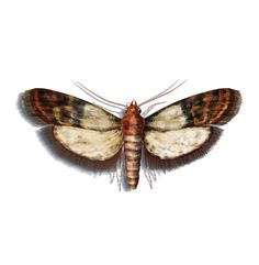 Dorrobstmotte Nachtfalter Insekten Schmetterling