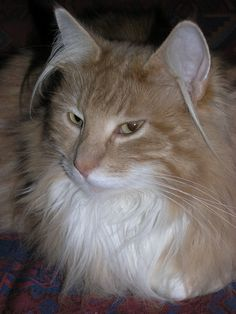 Merlin, our Norwegian Forest Cat Siberian Cat, Norwegian Forest Cat, A Perfect Day, Love Pictures, Maine Coon, Dream Team, Merlin, Loki, Videos