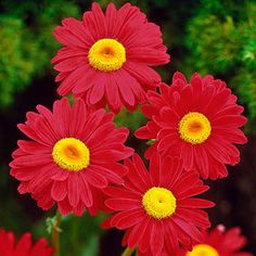 Grow a work of art with a blooming border of painted daisies! Flowers vary from reddish pink to crimson, with bright yellow eyes. A long-time favourite for cut-flower bouquets and perennial borders. A magnet to beneficial pollinators! Summer Bulbs, Spring Bulbs, Spring Blooms, Summer Flowers, Sun Loving Plants, Sun Plants, Shade Plants, Partial Shade Flowers, Daisy Painting