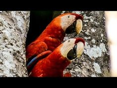 Macaws And Other Beautiful Wildlife Call Costa Rica Home - http://www.parrotshop.org/macaws-and-other-beautiful-wildlife-call-costa-rica-home/