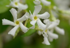 Trachelospermum Jasminoides by Leopoldo Meozzi, via Flickr