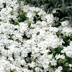 PS53.42.4 Pflanzen - Stauden - Bodendecker und niedrige Stauden - Polsterphlox Phlox subulata weiß (Pack./2 Pflanzen)