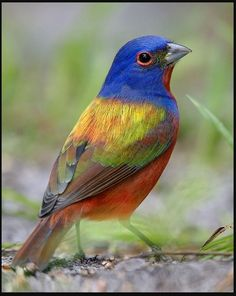 The painted bunting (Passerina ciris) Bunting Bird, Painted Bunting, Exotic Birds, Colorful Birds, Pretty Birds, Beautiful Birds, Beautiful Bird Wallpaper, Animals And Pets, Cute Animals