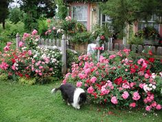 Backyard white ground roses