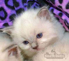 Blue Point kitten
