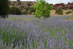 Red Rock Farms' Lavender Festival!!!