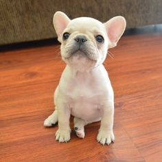 Frenchie baby!