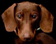chocolate doxie