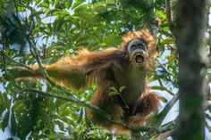 A male Sumatran orangutan challenges a rival by baring his teeth and shaking branches. Now recognized as a distinct species, Sumatran orangutans number around 14,000 in the wild. PHOTOGRAPH BY TIM LAMAN, NATIONAL GEOGRAPHIC