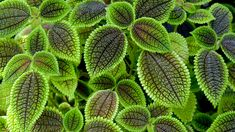Pilea involucrata is a tropical plant that needs warm temperatures and consistent humidity to thrive but other than that, this plant& needs are basic. Learn how to care for a friendship plant for an appealing textured foliage specimen in this article. Unique Plants, Exotic Plants, Tropical Plants, Cactus Plants, Garden Plants, Indoor Plants, Indoor Garden, Hanging Plants, Potted Plants