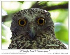 Google Image Result for http://leesbirdblog.files.wordpress.com/2012/12/78-powerful-owl-ninox-strenua-by-ian-4.jpg%3Fw%3D350%26h%3D280