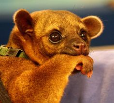Kinkajou NOM NOM. So sweet! Got to pet one of these at MDA camp last summer then again yesterday at the MDA Muscle walk!