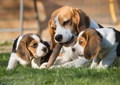 Are you interested in a Beagle? Well, the Beagle is one of the few popular dogs that will adapt much faster to any home. Whether you have a large family, p Cute Beagles, Cute Puppies, Cute Dogs, Baby Animals, Cute Animals, Pocket Beagle, Adoptable Beagle, Beagle Puppy, Puppy Eyes