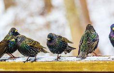 Rule #72: It's Okay to Hate Starlings