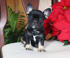 french bulldog full grown & sweet is what you call Jade! Jade is an pup that is excited for Christmas. She is also excited to for a French Bulldog Full Grown, Merle French Bulldog, Pied French Bulldog, French Bulldog Breeders, Blue French Bulldog Puppies, French Bulldog Names, Bulldog Breeds, Bulldog Puppies For Sale, English Bulldog Pictures