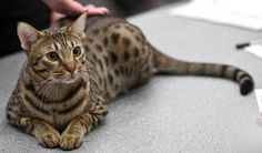 Ocicat is an exotic looking cat breed that has the ability to garner people's attention and steal their hearts. Appearance wise the Ocicat looks a bit similar to a cat in the wild. Ocicat, Gato Munchkin, Domestic Cat Breeds, American Shorthair Cat, Carnivore, Cat Jokes, Cat Drinking, Cute Cat Breeds, Crazy Cats