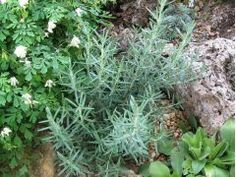 "Rosmarinus officinalis "" Blue Winter "" - rozmarýn - hardy"