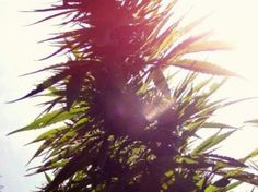 growing marijuana hydroponically  http://www.growingmarijuanaebook.com/