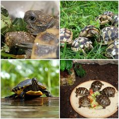 How to keep a land turtle that lived one hundred years? http://veu.sk/index.php/aktuality/1058-ako-chovat-suchozemsku-korytnacku-aby-sa-dozila-sto-rokov.html