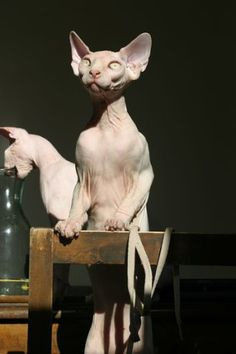 Photo: copyright Kristen Leedom's cattery Introduction This is an entirely new breed of cat at a deliberate hybridization of two well known cats, the Sphynx and the American Curl. Ugly Animals, Cute Animals, Cute Hairless Cat, Selfie Gato, Elf Cat, American Curl, Sphinx Cat, Devon Rex, Man And Dog