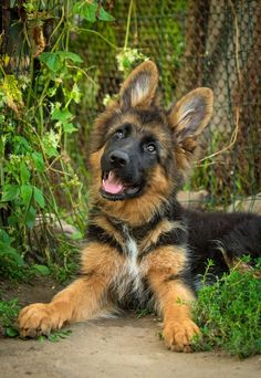 Curious (and cute) German Shepherd puppy