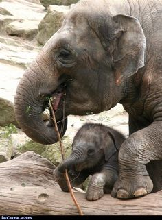 Baby elephant with mom mother and baby animals, cute baby animals, animals and pets Mother And Baby Animals, Cute Baby Animals, Animals And Pets, Wild Animals, Asian Elephant, Elephant Love, Elephant Family, Elephas Maximus, Photo Animaliere