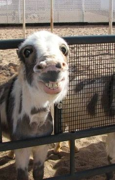 There are great gallery of farm animals pictures. In this gallery you find funny and cute pictures of farm animals. Watch funny chickens, cows, goats, pigs and Happy Animals, Animals And Pets, Funny Animals, Cute Animals, Smiling Animals, Wild Animals, Funny Looking Animals, Baby Farm Animals, Animal Fun