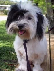 Alana is an adoptable, young, female Havanese in Davie, FL.   IMPORTANT: WE ADOPT ONLY IN SOUTH FLORIDA BUT MAKE SOME EXCEPTIONS IN APPROXIMATE AREAS OF Naples, Ft. Myers, Sarasota, Tampa, St. Pete, Lady Lake, The Villages, Orlando, Ormond Beach, Melbourne, etc.    More about Alana:  Spayed • Up-to-date with routine shots • House trained • Prefers a home without: young children    Alana's Contact Info:  Shih Tzu Rescue, Davie, FL  954-680-6456  http://www.petfinder.com/petdetail/24236687