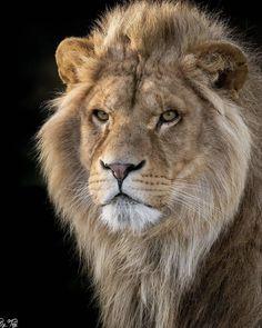 Gorgeous Lion - Gross- und Wildkatzen - Welcome Haar Design Lion Images, Lion Pictures, Animal Pictures, Animals Photos, Nature Animals, Animals And Pets, Cute Animals, Beautiful Cats, Animals Beautiful