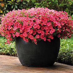 1000+ Bilder zu Garten Pflanzen im Kübel auf Pinterest  Garten ...