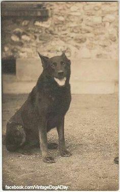 Beauceron postcard France c. 1910