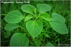 A body massage oil made with Acalypha Indica / Kuppaimeni/ Indian Nettle