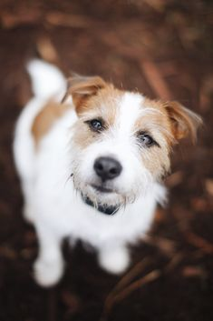 """Freddy, 2 years old. Russell Terrier. Marymoor Park, Washington. """"He's interested in everything."""""""