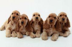 English Cocker Spaniel Pups ~ Classic Look English Cocker Spaniel Puppies, English Spaniel, American Cocker Spaniel, Cute Puppies, Cute Dogs, Dogs And Puppies, Doggies, Spaniel Breeds, Dog Breeds