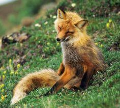 beautiful-wildlife:  Red FoxbyPatrick J. EndresSummer Tundra, Denali National Park, Alaska