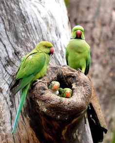 Ring-necked wild parakeets & nest