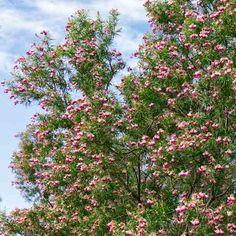 Desert Willow | thisoldhouse.com | from Avoid Invasives: Plant This, Not That | Photo: Doreen Wynja