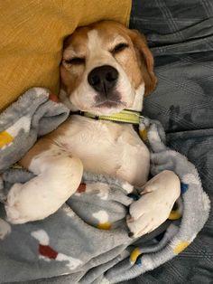 Cute Beagles, Cute Dogs, Beagle Puppies, Jack Russell Terrier, Labrador Retriever, Fur, Babies, Pets, Board