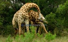 This amazing photo captures the unique moment two fighting giraffes got their incredibly long limbs tangled up. These two male giraffes were ferociously battling with their legs and necks for dominance and mating rights when they became unintentionally entwined. Giraffes generate huge amounts of force and are capable of knocking an opponent to the ground with a single strike.