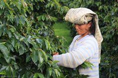 Indonesia, Sumatra. Lintong Dolok Sanggul   The Coffee Shrub