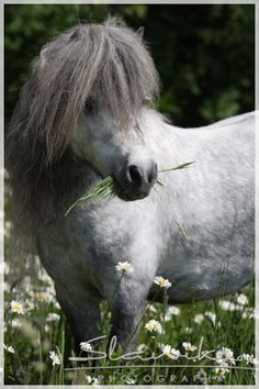 Nugget was the name of our Shetland pony that was Doppler gray. Pony Breeds, Horse Breeds, Horse Photos, Horse Pictures, Most Beautiful Horses, Animals Beautiful, Shetland Ponies, Miniature Ponies, Mini Horses