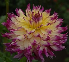 "Dahlia 'Zoey Rey' - Beautiful 7"" blooms of cream with rose edges. Plant is 5' tall."