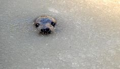 A young grey seal peaks it head above the slushie-like water at the Grey Seal Breeding Station.