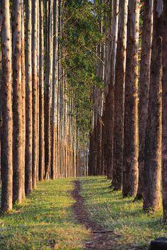 Eucaliptus. Bogota, Colombia. Mucho más sobre nuestra hermosa Colombia en www.solerplanet.com