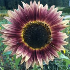 awesome sun flower color