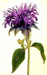 Monard fistulosa, Wild Bergamot. Love magic, purification, astral work, glamoring, perfuming, good for colds and digestion. Edible flowers and leaves.