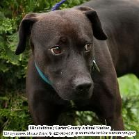 """((SUPER URGENT)) **TO BE DESTROYED 10/30/14** """"Scooter~ Breed:Pit Bull Terrier / Labrador Retriever / (mix breed) Age: Young adult Gender: Male Shelter Information: Elizabethton Carter Co Animal Shelter.. click pic to see mroe photos of Scooter! PLS SHARE- HE ONLY HAS 6 DAYS LEFT TO LIVE!!!"""