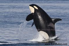 L121 is a Boy! Superpod in the Morning! | Island Adventures Whale Report